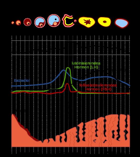 Schematische Darstellung des Menstruationszyklus